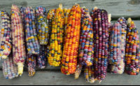 Peru-produces-more-than-55-varieties-of-corn-with-the-different-range-of-colors.jpg