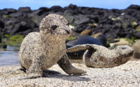 Baby seals playing on the beach - Imgur.jpg